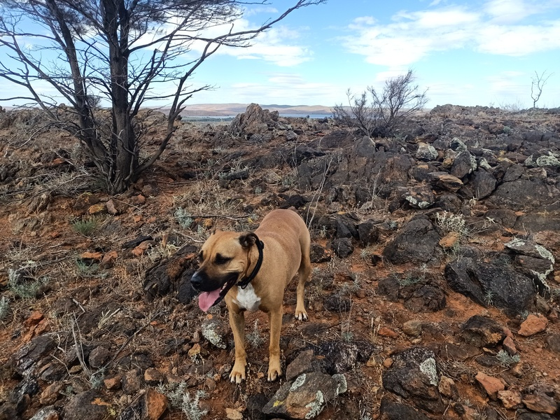Tan coloured dog on dry rocky hilltop with a distant lake behind